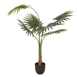 Decoration houseplant fan palm